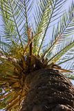 Date palm bottom view. Blue sky. Royalty Free Stock Images