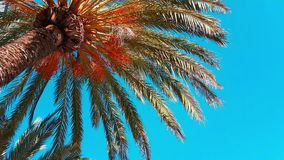 Date Palm Branches Moving in The Wind. Date Palm Tree With Ripe Fruits And Branches Moving in The Wind, Leaf Palm Tree On Blue Sky - 4K Video stock footage