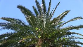 Date palm stock footage