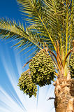 Date palm with bunches of dates. Royalty Free Stock Photo