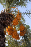 Date palm with bunches of ripening fruit. Date palm Phoenix dactylifera with bunches of ripening fruit royalty free stock photography