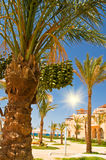 Date palm with bunches of unripe dates. Royalty Free Stock Photography