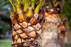 Date palm-2 Stock Images