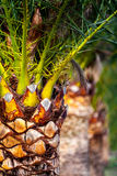 Date palm-1 Stock Image