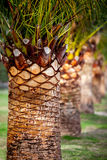 Date palm-3 Stock Photos
