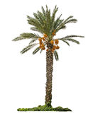 Date palm Stock Photo