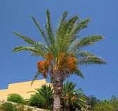 Palm tree. Date palm tree with clusters of dates ripening, on a background of clear blue sky, some yellow building, and other trees stock photo