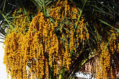 The date palm with dates Royalty Free Stock Photography