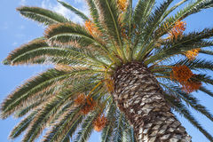Date palm with sweet fruits under blue sky Stock Images
