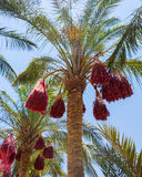 Date Palm Egypt Stock Photos