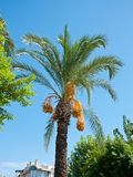Date Palm with exotic fruits Stock Photography