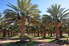 Date palm farm. Agricultural date palm farm in dry semi-desert of Northern Cape in South Africa Stock Photos