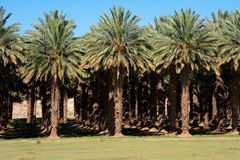 Date palm farm Stock Photo