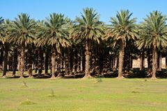 Date palm farm Royalty Free Stock Image