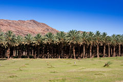 Date Palm Farm Royalty Free Stock Photo
