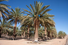 Date palm farm Royalty Free Stock Images