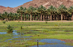 Date palm farm Stock Photography