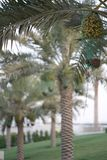 Date palm tree in the garden stock photos