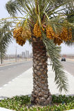Date Palm filled with bunches of Dates in DUBAI,UAE on 26 JUNE 2017 Stock Photo