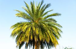 Date Palm foliage shot in a sunny day. Foliage of a Date Palm tree shot under sun light stock photography