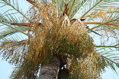 Date palm fruit bunches on blue sky background Royalty Free Stock Photography