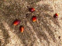 Date palm fruit Stock Image