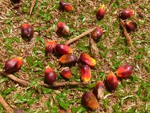 Date palm fruit Royalty Free Stock Photos