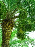 Date palm with fruits Stock Photo