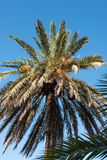 Date palm with fruits against blue sky on Majorca Royalty Free Stock Photo