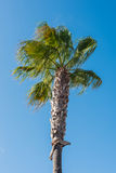 Date palm with fruits against blue sky on Majorca Stock Photography