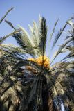Date palm with fruits against the blue skyr Royalty Free Stock Photo