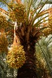Date palm with fruits. Tropical green background Stock Photography