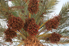 Date palm full of fruits Royalty Free Stock Image