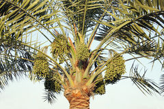 Date palm and green dates Royalty Free Stock Images