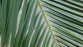 Date palm green leaves stock video