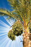 Date palm with green unripe dates. Royalty Free Stock Photo