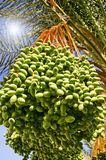 Date palm with green unripe dates. Royalty Free Stock Photography