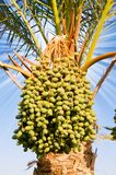 Date palm with green unripe dates. Stock Images