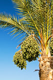 Date palm with green unripe dates. Royalty Free Stock Images
