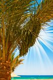Date palm with green unripe dates and blue ocean. Royalty Free Stock Photography