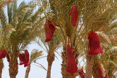 Date palm before harvest Royalty Free Stock Photo