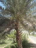 DATE PALM. JUST AT ITS MATURITY LEVEL; SMALL SEEDLINGS royalty free stock image