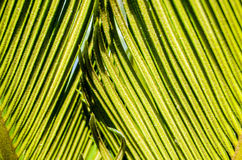Date palm leaves detail Royalty Free Stock Photo