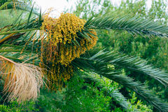 Date palm in Montenegro. Fruit on palm tree Royalty Free Stock Photos