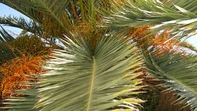 Date palm in Montenegro. Fruit on the palm tree stock video footage