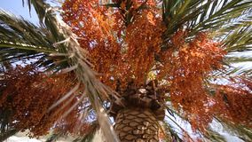 Date palm in Montenegro. Fruit on the palm tree stock footage
