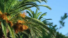 Date palm in Montenegro. Fruit on the palm tree stock video