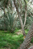 Date palm oasis UAE Stock Images