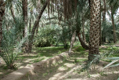 Date palm oasis UAE Royalty Free Stock Photo