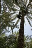 Date palms, Harvesting dates royalty free stock photography